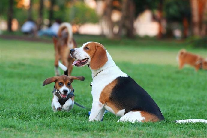 Dog Park Beagle _4629967944885552661
