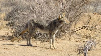 Coyote-jpg_20160129173701-159532