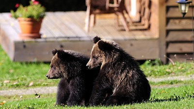 Grizzly-bears-jpg_20160304092828-159532