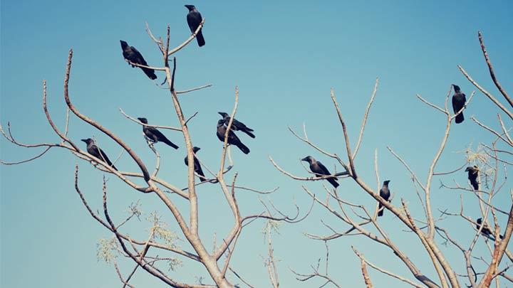 Crows_1446233719281.jpg