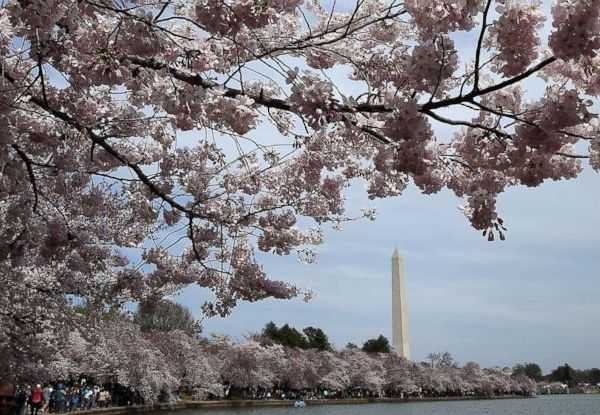 cherry-blossom-gty-ml-180409_hpMain_31x13_992_1523281964830.jpg
