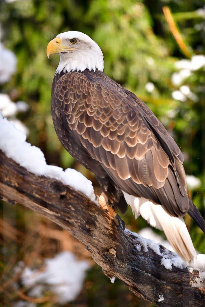 bald-eagle-gty-mem-180813_hpEmbed_2x3_992_1534257140942.jpg