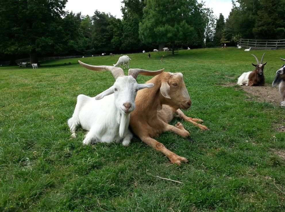 goats-face-expressions-4-ht-thg-180829_hpEmbed_19x14_992_1535736647423.jpg