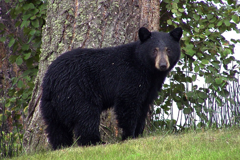 black-bear-50293_960_720_1553546253085.jpg