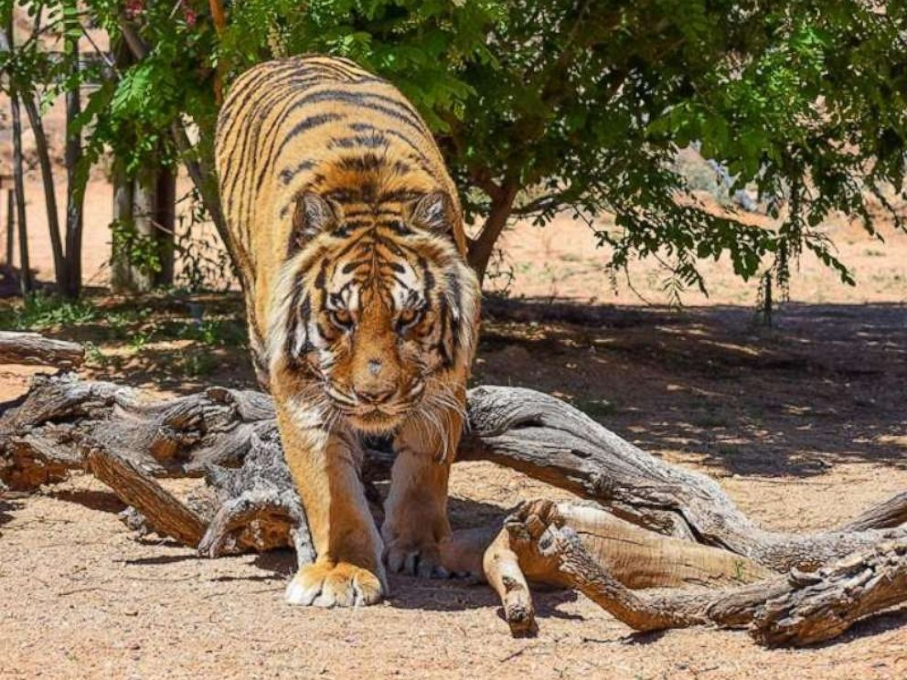 bowie-tiger-attack-ho-mo-20190425_hpMain_4x3_992_1556196595139.jpg